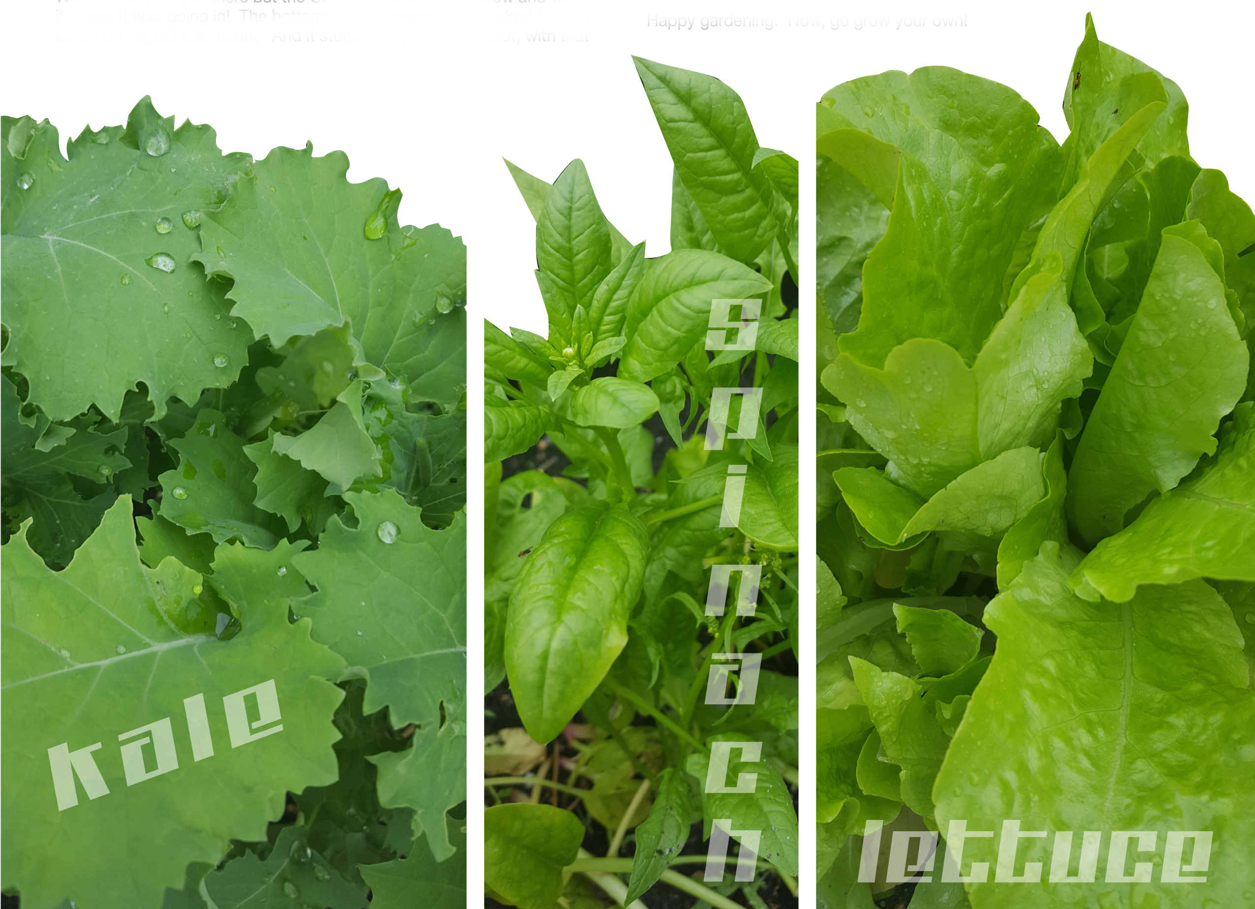 kale-spinach-lettice